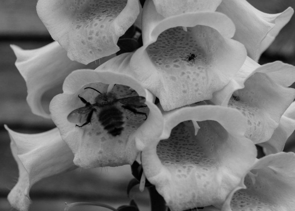 bumblebees-4