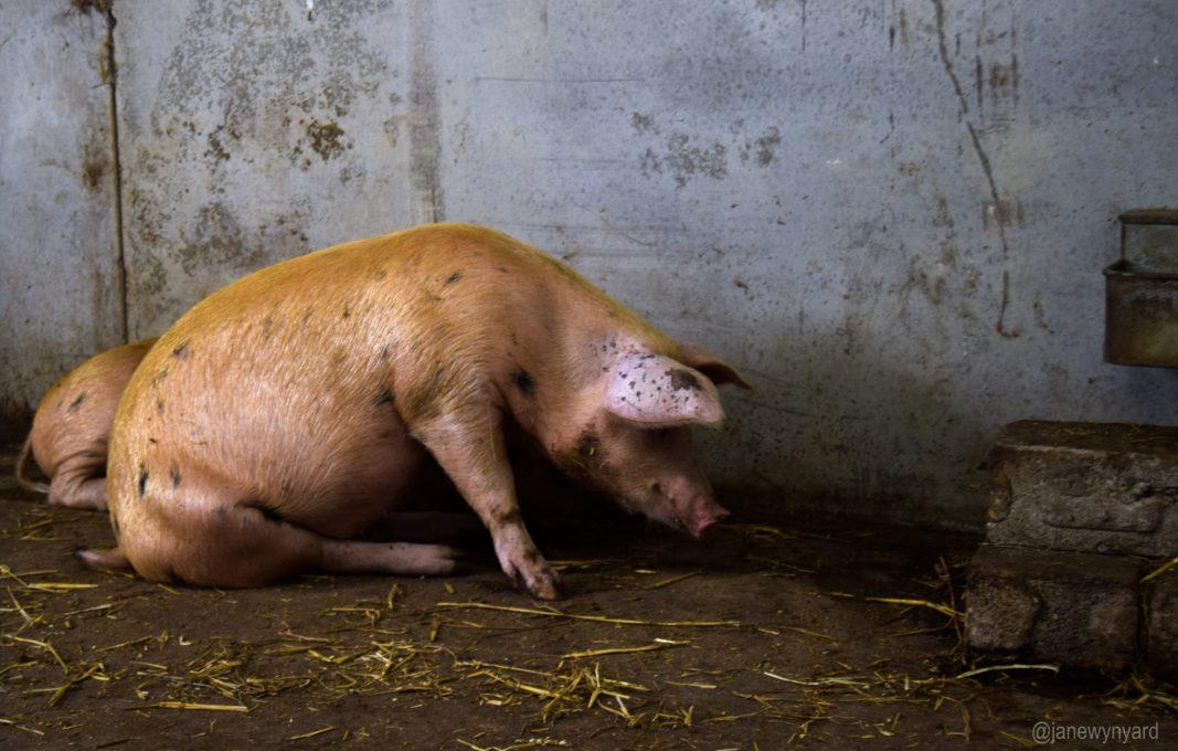 sitting-pig