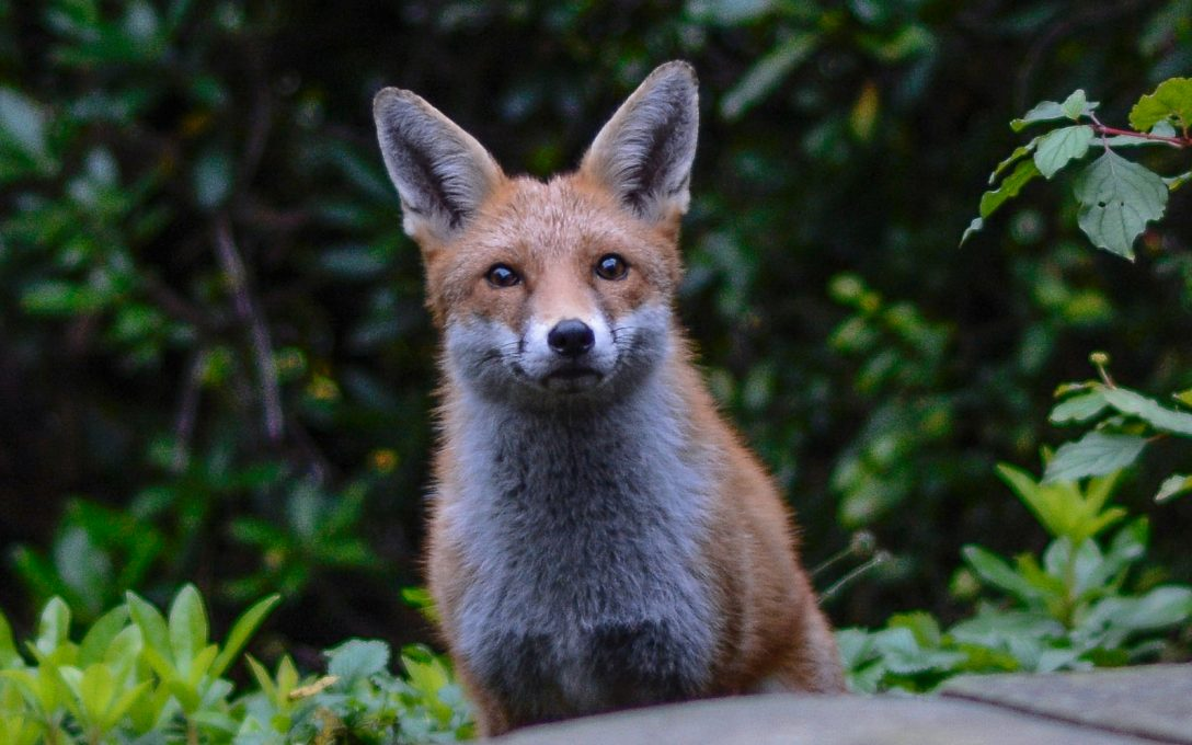mrs-fox-and-the-ears
