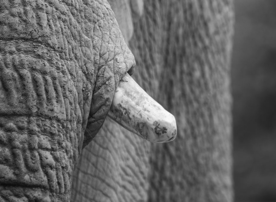 ivory-picture