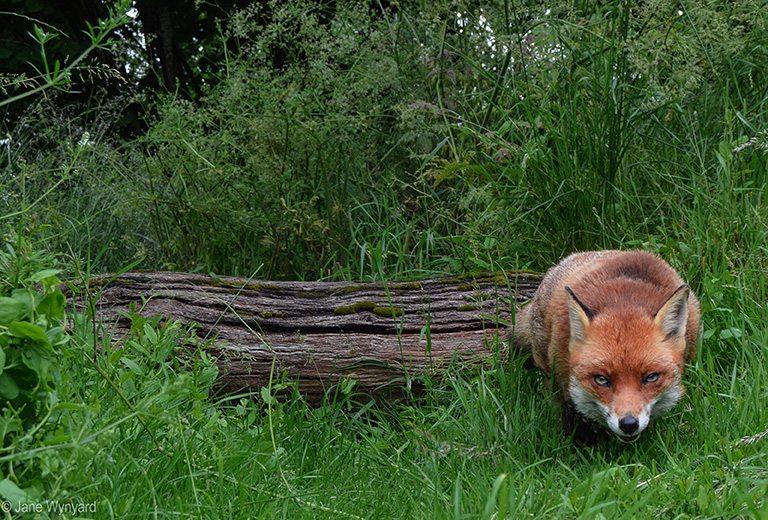 foxresized3