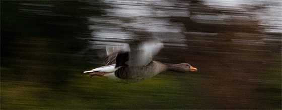 panning-duck-resized