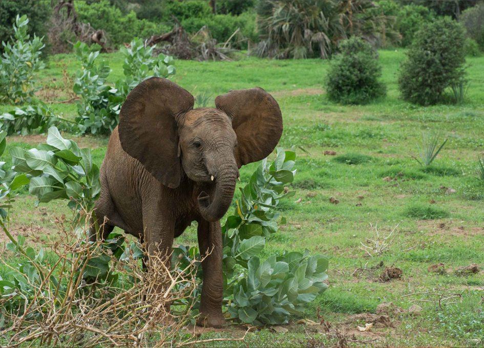 The adorable bush flattening baby elephants of Samburu ...