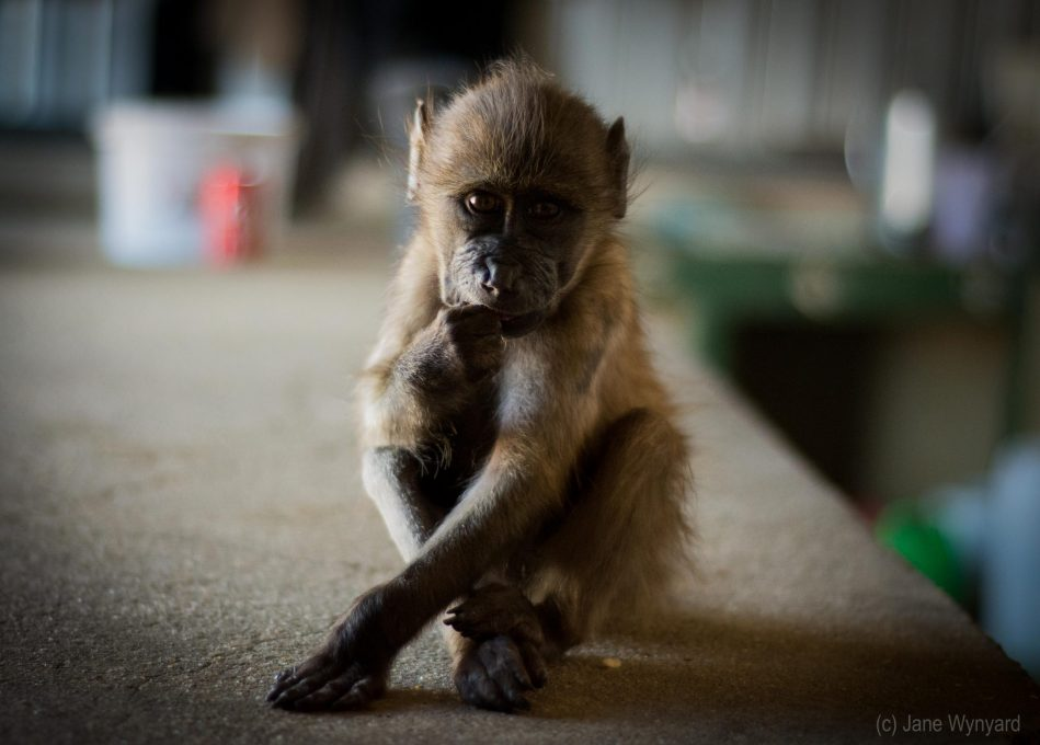 baby baboon eating