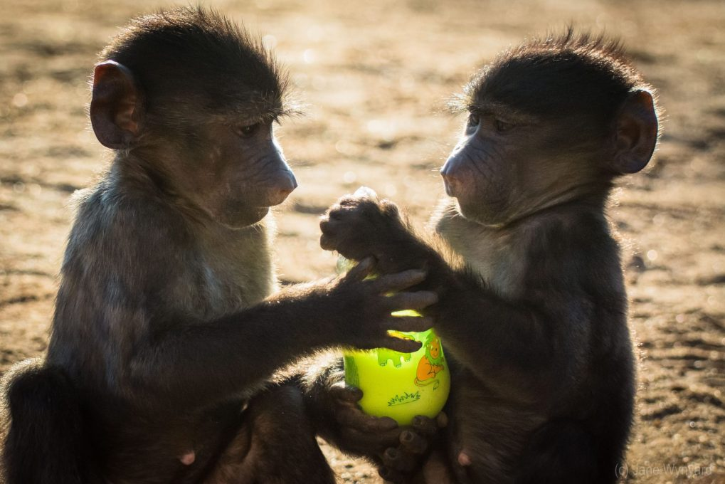 two baby baboons with bottle of milk