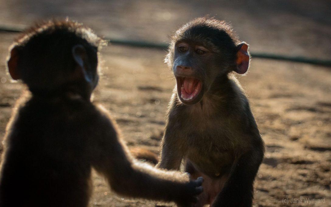 mischievous baby baboons