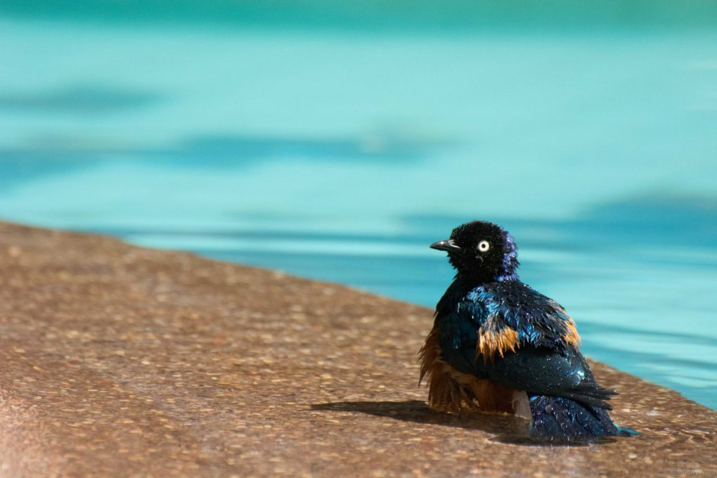 superb starling looking stunned
