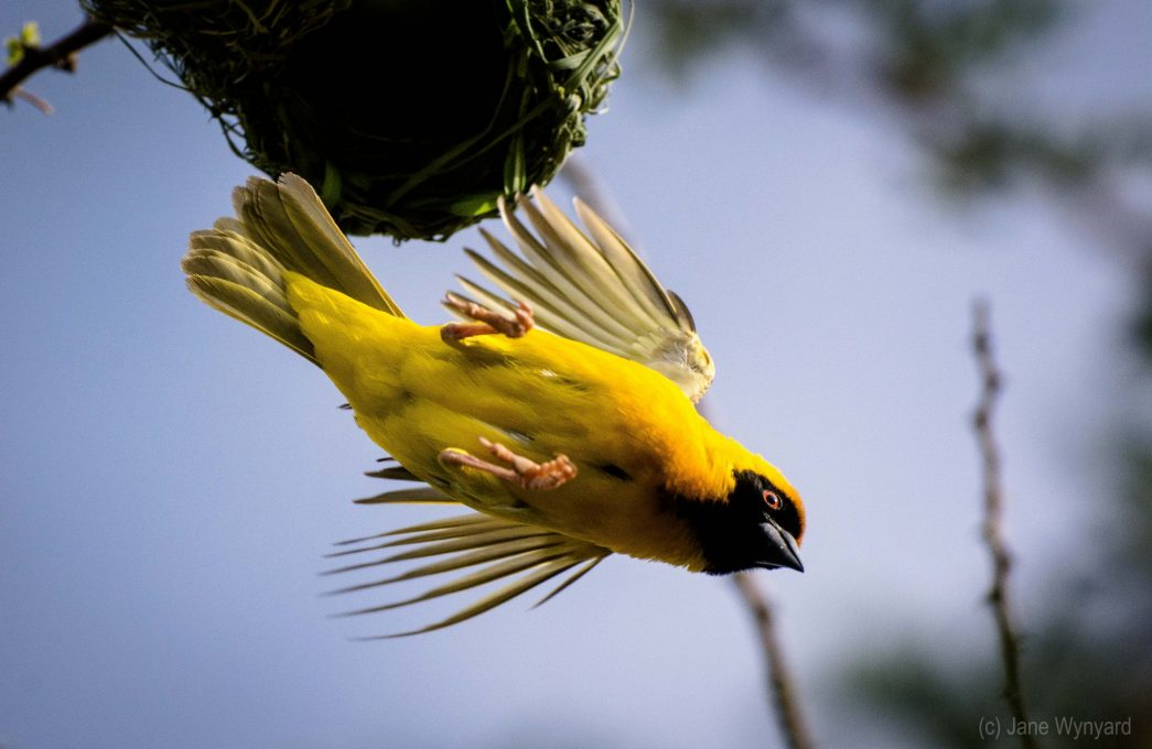 yellow weaver flying from nest