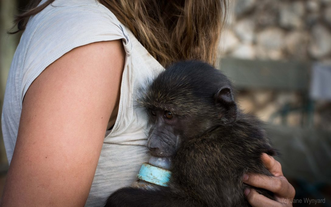 orphan baboon clinging to human