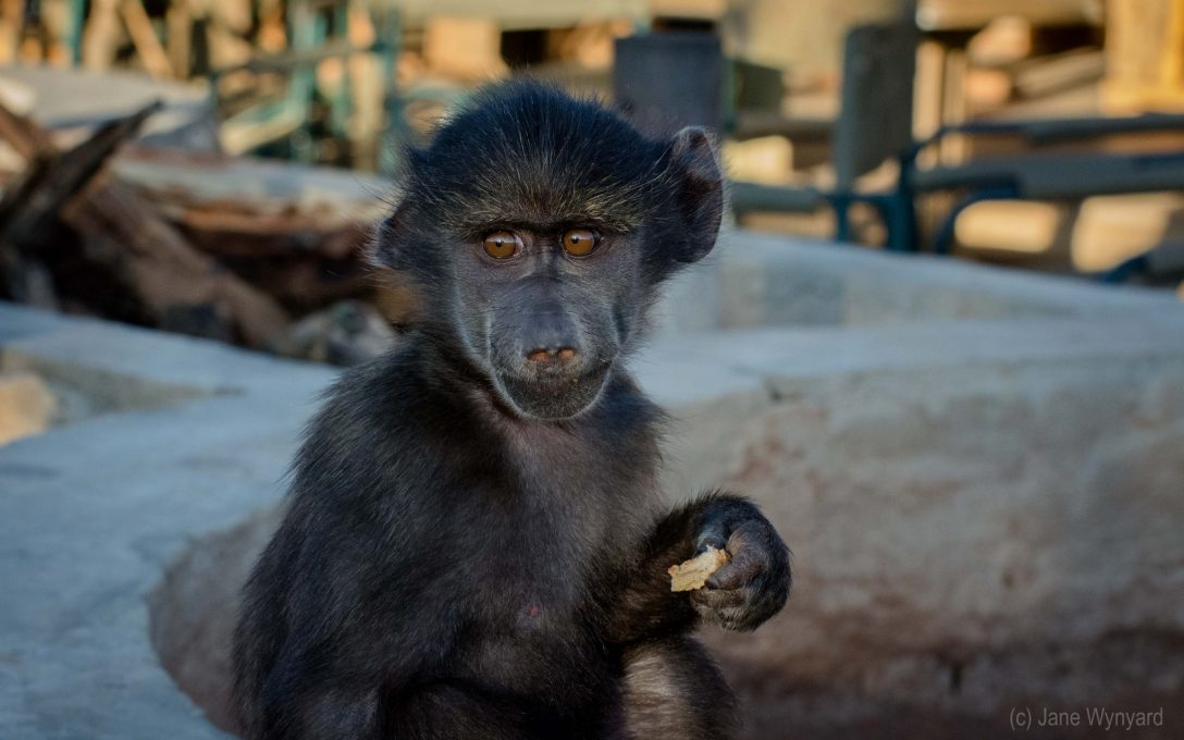 Rescued baby baboon