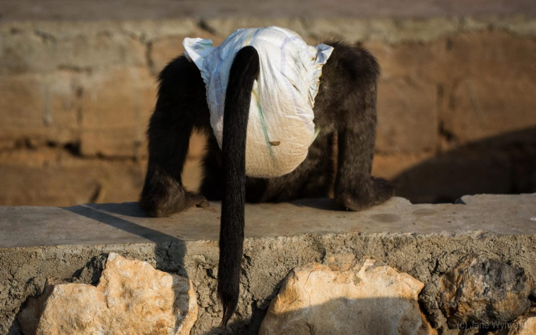 baboon in nappies