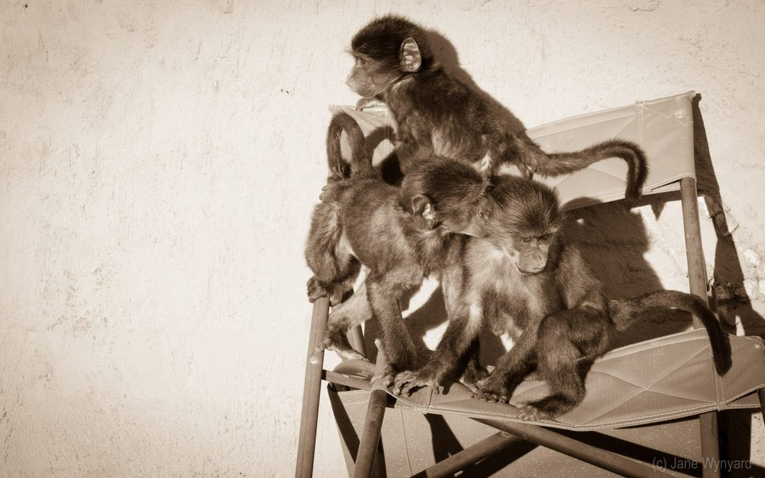 trio of monkeys on a chair