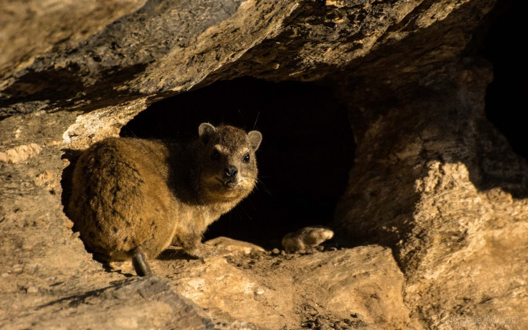 rock hyrax peering out from cave