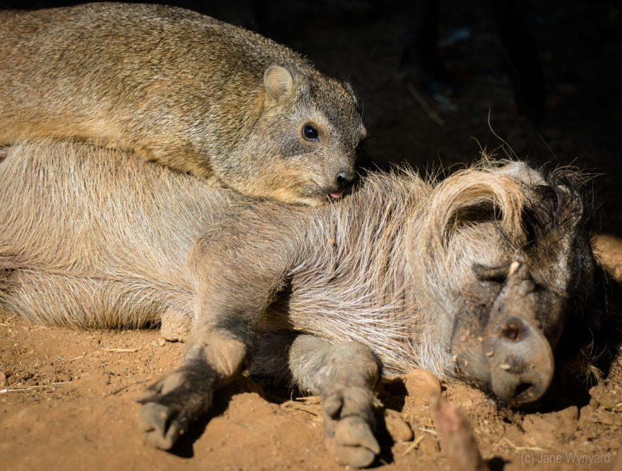 rock hyrax lying on top of a warthog