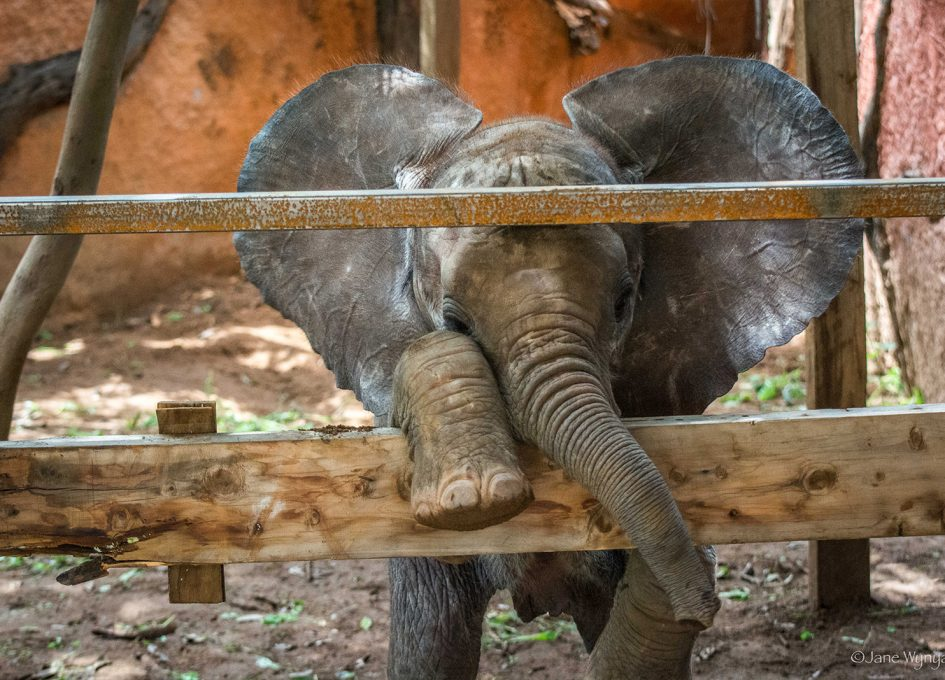 Lost Baby Elephant Wanders Into Research Camp Batteredpassport Com